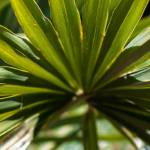 """Close up photo of green palm tree leaf"" by digidreamgrafix"
