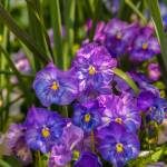 """Violet beautiful pansy flowering in spring time wi"" by digidreamgrafix"