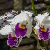 beautiful white orchids flower bloom by Alexandr Grichenko