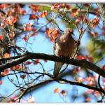 """Hanging In The Dogwood - Mourning Dove"" by flowerchild6482"