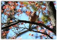 Hanging In The Dogwood - Mourning Dove