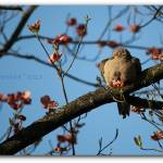 """""""Dozing In The Dogwood - Mourning Dove"""" by flowerchild6482"""