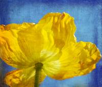 Yellow Poppy
