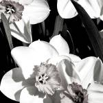 """Daffodils 1 (B&W)"" by DigitalBotanicals"