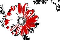 Gerbera - Black White And Red Series
