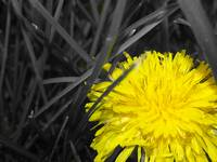 Dandilion Edit 1
