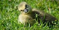 Baby Canadian Goose