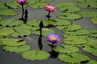 Lotus Pond Blooms