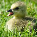 """Baby Canadian Goose"" by SeanPeck"