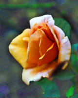 Peaches and cream rose