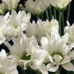 """""""White flowers on black"""" by liv-ellingsen"""