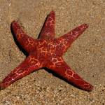 """Starfish on Ulverstone beach"" by liv-ellingsen"