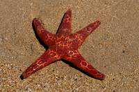Starfish on Ulverstone beach