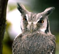 Hairy Owl, Southern White-faced Owl (Ptilopsis gra