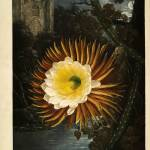 """Night Blooming Cereus Temple of Flora Thornton"" by masterpiecesofart"