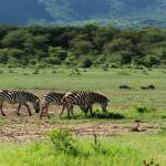 """Herd of zebras"" by bufo"