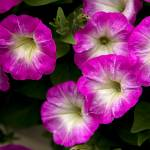 """Petunias"" by SamSherman"