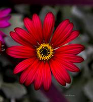 _MG_0024.red flower1