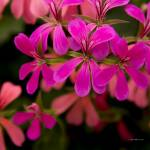 """Red and pink flowers"" by SamSherman"