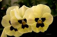 Yellow Pansy