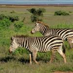 """Zebras in Manjara National Park"" by bufo"