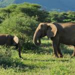 """Mother abd baby elephant"" by bufo"