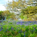 """Bluebells in Launde Woods"" by DaveRowley"
