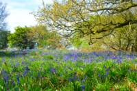 Bluebells in Launde Woods