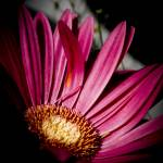 """Pink Gerbera Daisy"" by NCCreations"