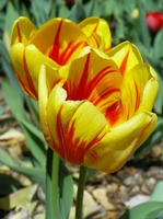 Colorful Tulip Flower