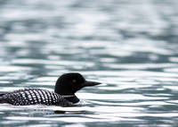 Loon Floats