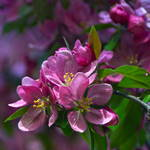 """Pink Crabapple Blossoms"" by LightHeart"
