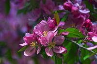 Pink Crabapple Blossoms
