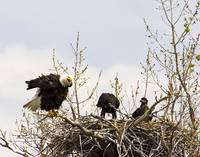 Mom Eagle scolding chicks