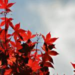 """Maple Leaves and Sky"" by ssleggett"