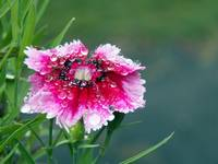 Waterlogged Sweet William Singing In The Rain