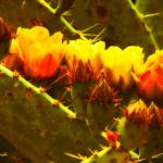 """Fiery Hot Cacti Blooms"" by Attentiongetters"