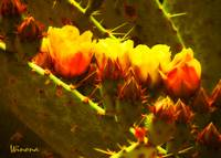 Fiery Hot Cacti Blooms