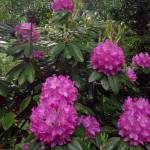 """Rhododendron"" by MichaelKarasik"