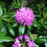 """Rhododendron 2"" by MichaelKarasik"