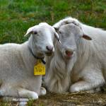 """Sheep"" by mdohnalek"