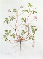 Herb Robert (w/c on paper)