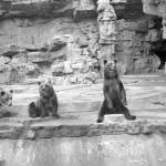 """Bears at St. Louis Zoo"" by GypsyChicksPhotography"