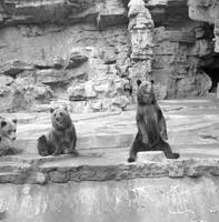 Bears at St. Louis Zoo