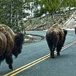"""Yellowstone Traffic Jam"" by Lorraine_Sommer"
