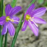 """Satin Flower Grass Widow Wildflower"" by vpicks"