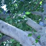 Pigeon in a tree