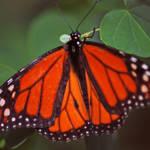 """Orange Butterfly 6"" by DBell"