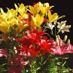 """""""Lilies En Masse"""" by budo"""