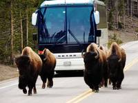 Personal Escort - Touring Yellowstone
